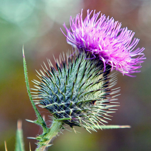 Why The Thistle?
